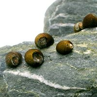 (B品)石巻貝(50匹)+(5匹おまけつき)