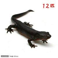 アカハライモリ(12匹)