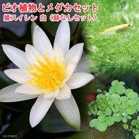 (めだか)ビオ植物とメダカセット 姫睡蓮(ヒメスイレン) 白 鉢なしセット (休眠株)