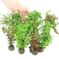 置くだけ簡単 マルチリングブラック(黒) おまかせ有茎草10種(水上葉)(無農薬)(計10個)