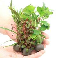 置くだけ簡単 マルチリングブラック(黒) おまかせ有茎草3種3個+Cry.パルヴァ3個(計6個)(水上葉)