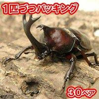 国産カブトムシ 成虫 サイズフリー(30ペア)