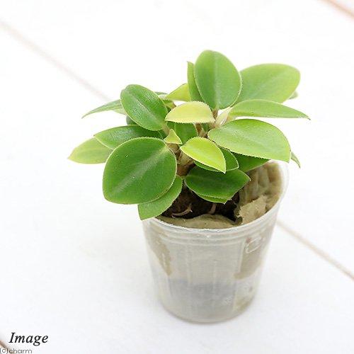 (観葉植物)ミニ観葉 オアシス苗 ペペロミア オルバ(1苗) 北海道冬期発送不可