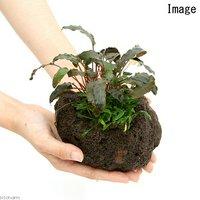 溶岩石鉢 寄せ植えミックス Ver.クリプトコリネ(1個)