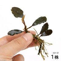 ブセファランドラcf.カプアスフル(無農薬)(1株)
