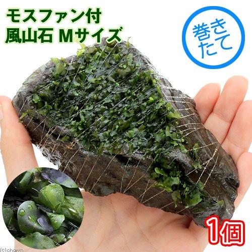 (水草)巻きたて モスファン付 風山石 Mサイズ(12〜15cm)(無農薬)(1個)