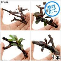 おまかせブセファランドラ1株付きミニ流木(約7cm)(無農薬)(1個)