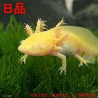 (B品)ウーパールーパー ゴールデン 13~15cm(1匹)