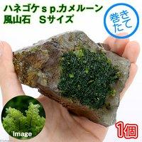 巻きたて ハネゴケsp.カメルーン産 風山石 Sサイズ(約10cm) (無農薬)(1個)