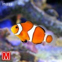 カクレクマノミ Mサイズ(国産ブリード)(1匹)熱帯魚