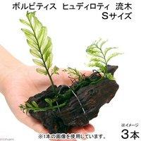 巻きたて ボルビティス ヒュディロティ 流木 Sサイズ(約15cm)(無農薬)(3本)
