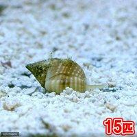貝 アツムシロガイ 底砂とその他の掃除(15匹)