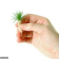 日本産ホシクサMサイズ(キネレウム)(無農薬)(1株)
