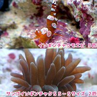 サンゴイソギンチャク SS-Sサイズ(2匹)+ イソギンチャクモエビ(5匹)無脊椎動物
