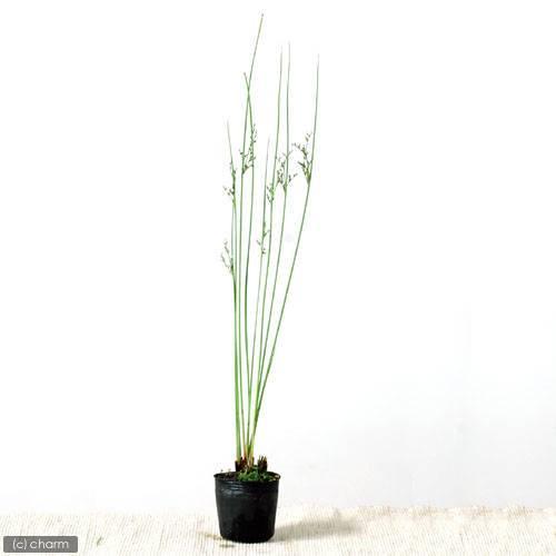 (ビオトープ)水辺植物 ブルーイグサ(1ポット分) 湿生植物
