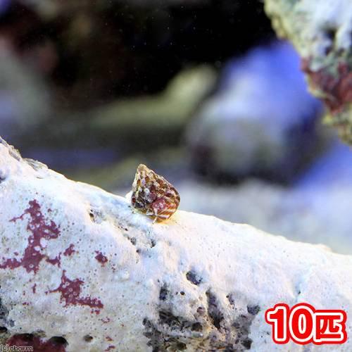 (海水魚 貝 無脊椎)生餌 エサ用小型巻貝(チグサガイ ミックス) コケの掃除(10匹) 北海道・九州航空便要保温