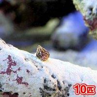 生餌 エサ用小型巻貝(チグサガイ ミックス) コケの掃除(10匹)