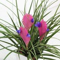 エアープランツ ティランジア キアネア 花芽2~3本付き 4号(1鉢)