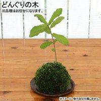 苔玉 どんぐりの木(1個) 観葉植物 コケ玉