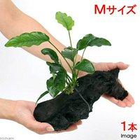 アヌビアス バルテリー 細葉タイプ 流木付 Mサイズ(1本)(約20cm)