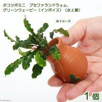 タコツボミニ ブセファランドラsp.グリーンウェービー(インボイス)(水上葉)(1個)
