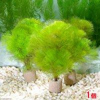 メダカ・金魚藻 ライフマルチ(茶) イエローカボンバ(1個)