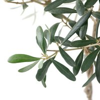 果樹苗 オリーブの木 トピアリー(ねじり仕立て) 5号(1鉢) 家庭菜園   北海道冬季発送不可