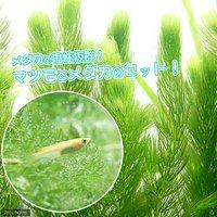 (水草)ヒメダカ初心者セット ヒメダカ(6匹)+マツモ(無農薬)(5本)