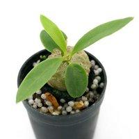 ビバリウムプランツ ミルメコディア ベッカリー コーデックス アリ植物 4cmポット入り Sサイズ(1ポット) 休眠株