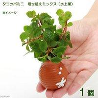 タコツボミニ 寄せ植えミックス(水上葉)(無農薬)(1個)