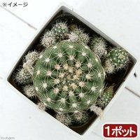 サボテン ノトカクタス すみれ丸 3号(1鉢)