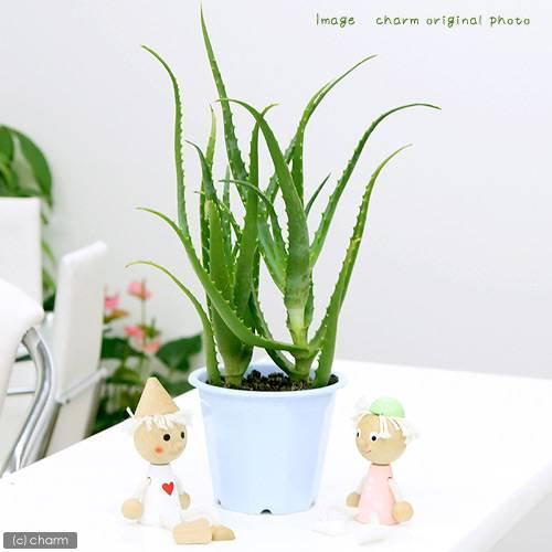 (観葉植物)アロエ こだわりキダチアロエ(有機栽培・無農薬) 5号(1鉢) 北海道冬期発送不可