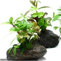 Plants Arrangement ザ ボンサイ(無農薬)(1個)