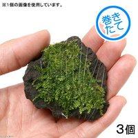 巻きたて 南米ウィローモス 富士ノ溶岩石 ミニサイズ(約4~6cm)(無農薬)(3個)