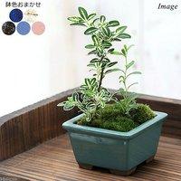 苔盆栽 2種寄せ植え 鉢色おまかせ(1鉢)