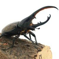 ヘラクレスエクアトリアヌス ミサワジ産 幼虫(初~2令)(1匹) ヘラクレスオオカブトムシ