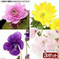 春の山野草 品種おまかせ(3ポット)