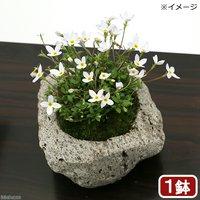 苔盆栽 白花ヒナソウ(白花雛草)~白溶岩石鉢~ Sサイズ(1鉢)
