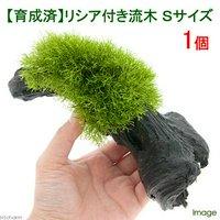 育成済 リシア付き流木 Sサイズ(約15cm)(無農薬)(1本)