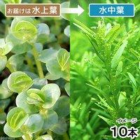 ロタラsp.グリーン 丸葉タイプ(水上葉)(無農薬)(10本)