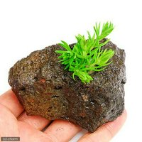 ポゴステモン デカネンシス(水上葉) 穴あき溶岩石付(無農薬)(1個)