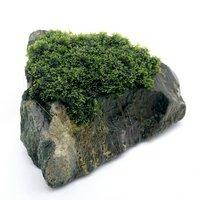 一点物 プレミアムグリーンモス 風山石(450078)(無農薬)(1個)