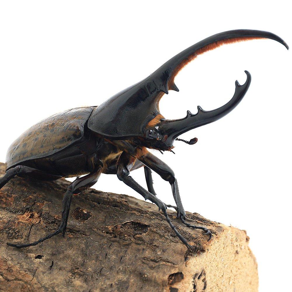 (昆虫)ヘラクレスエクアトリアヌス エクアドル産 幼虫(初〜2令)(1匹) ヘラクレスオオカブトムシ