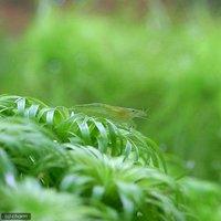 インドグリーンシュリンプ(3匹)