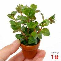 プチ素焼き鉢 ロタラ インディカ(水上葉)(無農薬)(1鉢)