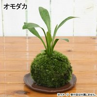 苔玉 オモダカ(1個) 観葉植物 コケ玉