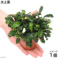 素焼き鉢 ブセファランドラsp.グリーンウェービー(インボイス)(水上葉)(1個)