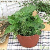 ペットの新鮮サラダ(ペットリーフの寄せ植え) 品種おまかせ(1鉢) 家庭菜園