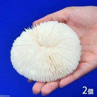 かざりサンゴ タイプC(クサビライシゾウリイシ系)(2個)(形状お任せ)