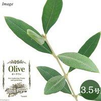 果樹苗 オリーブの木 オークラン 3.5号(1鉢) 家庭菜園
